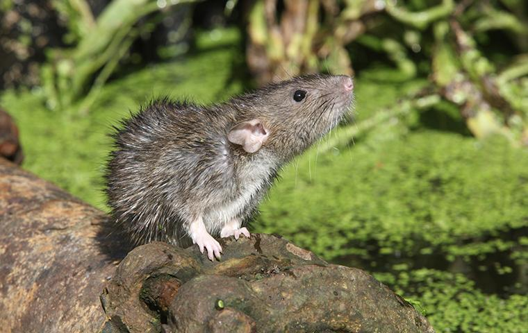 rodent on rock