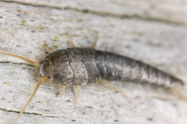 a silverfish crawling on a surface inside of a home in pennsylvania