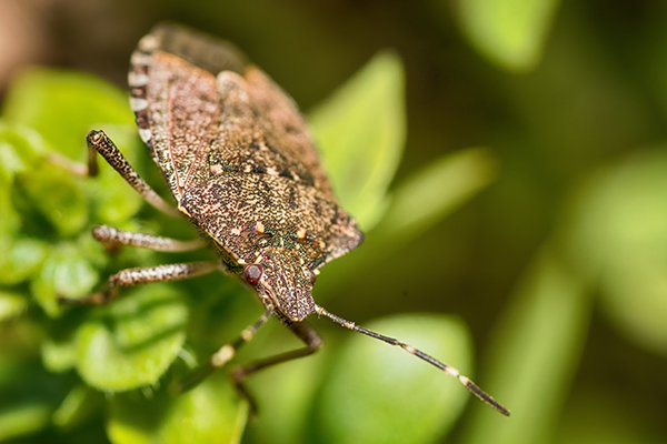 a brown marmorated stink bug on a plan outside of a home in pennsylvania