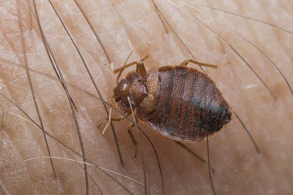 a bed bug crawling on the skin of a human resident in souderton pennsylvania
