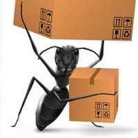 large black ant carrying boxes