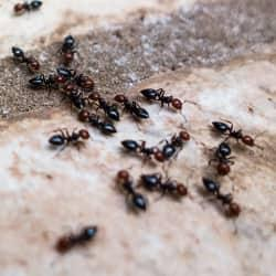 a large colony of black ants infesting the walkway of a west chester home