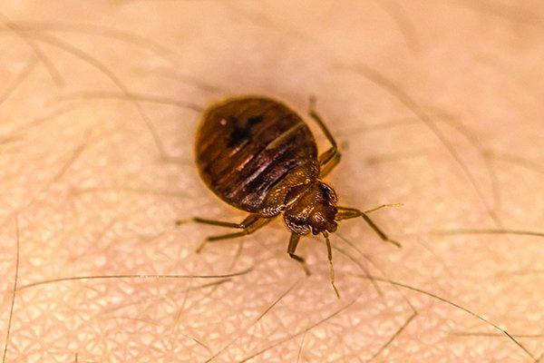a bed bug biting a persons arm