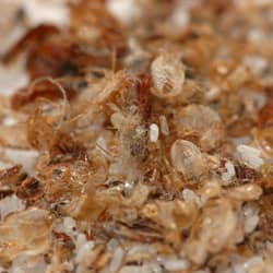 bed bug eggs and casings