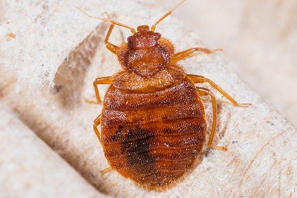 a bed bug crawling on a head board