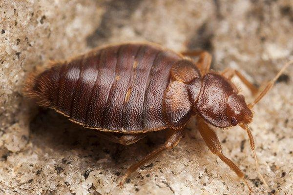 a bed bug crawling on a kitchen surface