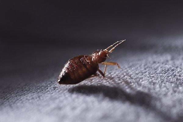 a bed bug crawling on sheets at night