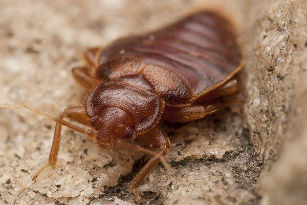 a bed bug crawling on the ground