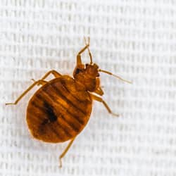 bed bug crawling on bed sheet