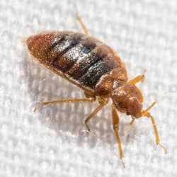 bed bug crawling on white sheets