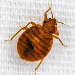 bed bug crawling on upholstery