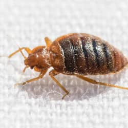 bed bug crawling on a bed in Telford