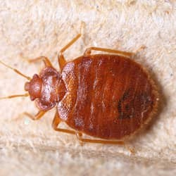 bed bug crawling in west chester home