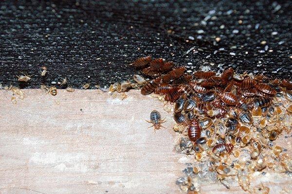 many bed bugs making a mess on a mattress