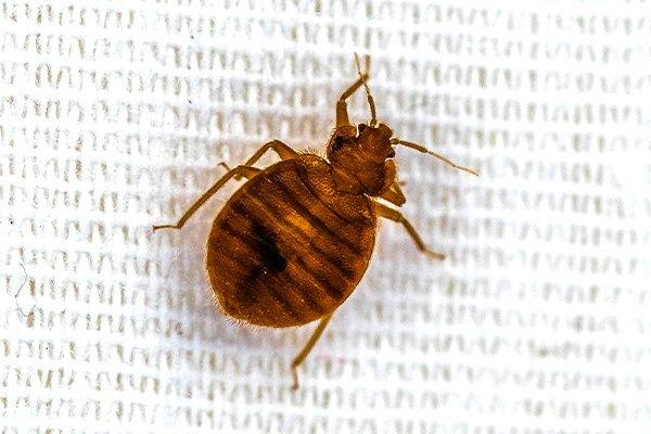 a bed bugs on souderton sheets