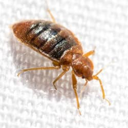 bed bug up close on bed sheet