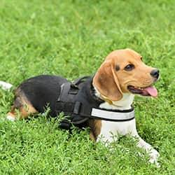 a beagle at work as a certified and trained bed bug service dog sitting in green grassed yard on a property in west chester