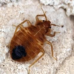 bed bug in souderton home