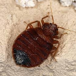 bed bug in a west chester home