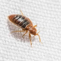 bed bug found in newtown square home