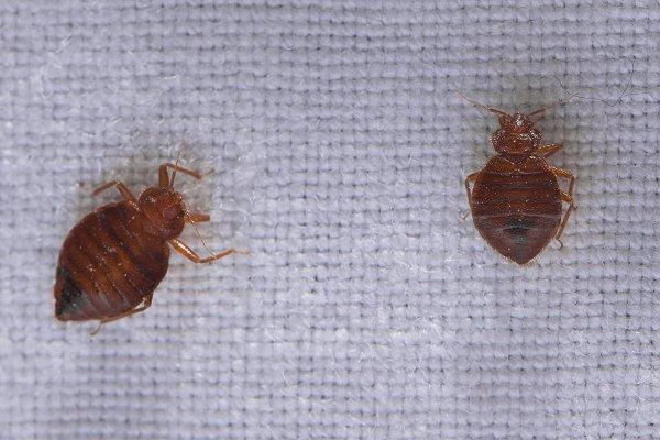 two bed bugs crawling on bedding