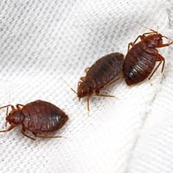 a cluster of bed  bugs infesting the white cotton linens of a westchester residence