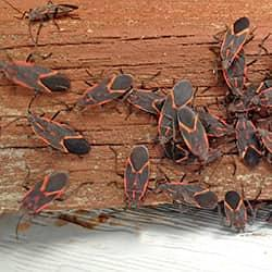 a large cluster of box elder bugs infesting a new castle pennsylvania home during the late summer season