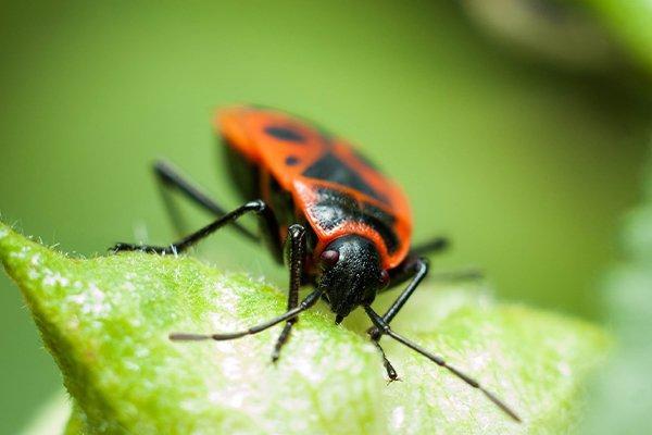 a boxelder bug on a leaf