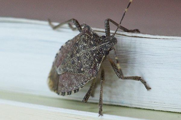 a stink bug inside a home