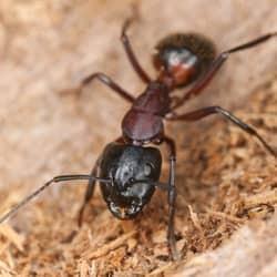 carpenter ant in pennsylvania