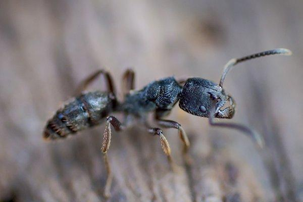 a carpenter ant crawling on wood