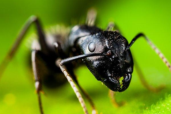 a carpenter ant on a leaf