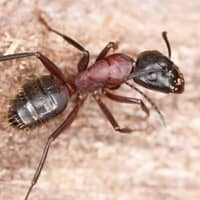 enlarged image of ant