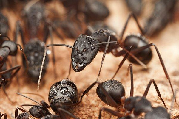 a carpenter ant colony on a west chester home