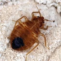 bed bug in souderton home