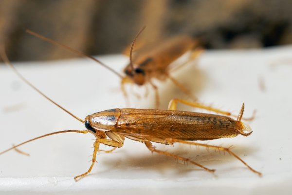 two cockroaches crawling on a surface in the kitchen inside of a home in west chester pennsylvania