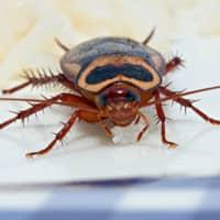 cockroach feeding on food off table