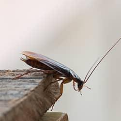 an american cockroach crawling over and along the edge of a west Chester Pennsylvania kitchen counter top
