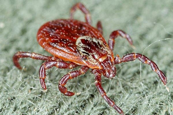 an american dog tick crawling on a persons sweater