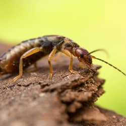 earwig outside home