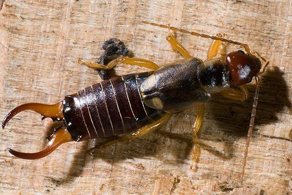 an earwig on wooden table