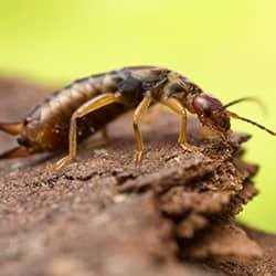 an eager earwig scurrying to the edge of a souderton property