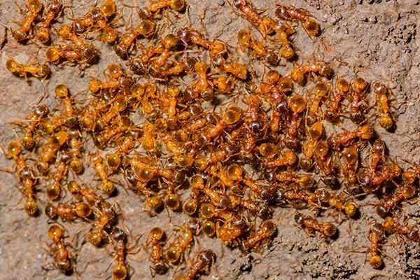 fire ants swarming on food