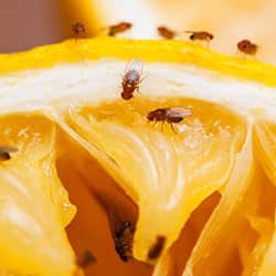 fruit flies feeding