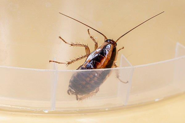 a german cockroach on a plastic bowl