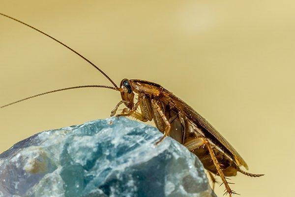 german cockroach on rock