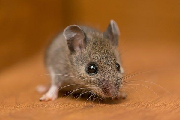 a house mouse crawling in a kitchen cabinet
