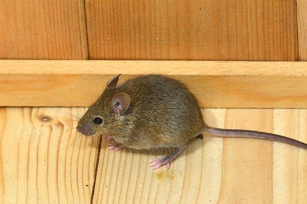 a house mouse crawling on a floor in a livingroom