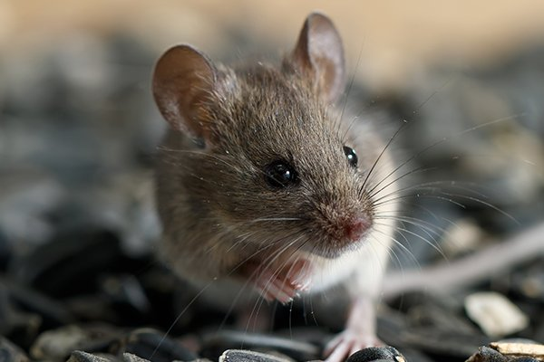a house mouse eating seeds inside of a souderton pennsylvania home in the winter