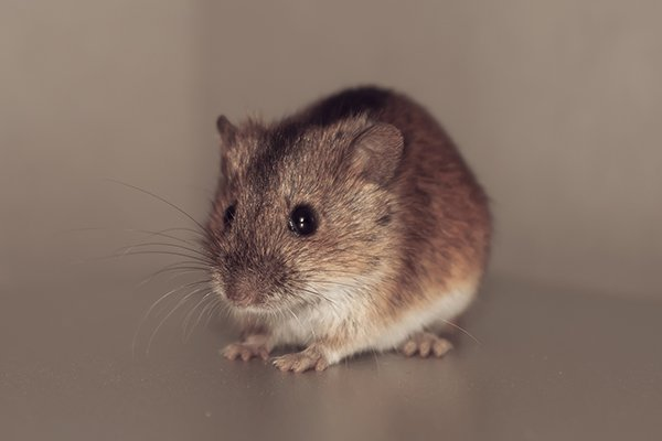 a house mouse inside of a souderton pennsylvania home in the fall